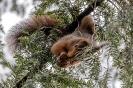 Hier hängt er kopfüber im Nadelbaum
