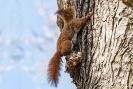 Hier jagt er gerade eines der Mädels die auf dem Baum geflüchtet ist