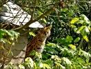 iss da wer , fragt sich das junge Servalkätzchen