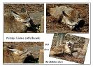 Löffelhunde im Zoo