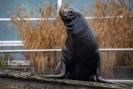 Seelöwen Bulle Unesco wartet auf die Fütterung