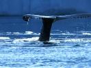 Wal beim Abtauchen