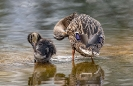 Auch kleine Enten müssen sich putzen