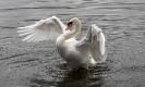 Bereits ein einziger Flügelschwung reicht aus um ihn fast aus dem Wasser zu heben.