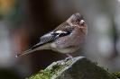 Buchfinken sitzen oft auf einem Bein.