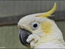 Cocco der Kakadu
