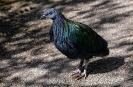 Das ist eine Nicobaren Taube auch Kragentaube genannt