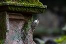 Der Baumläufer. Die wenigsten haben diesen scheuen Winzling je gesehen. Hier sucht er die alten Grabsteine nach Insekten ab.