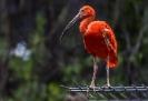 Der rote Ibis hat wirklich ein sehr kräftiges Rot.