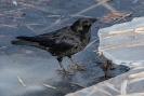 Der seltene Eisvogel :-)