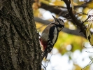 Der Specht ist der höflichste Vogel