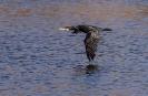 Die Flügelspitzen streifen fast das Wasser
