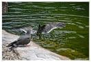 Die Inka Seeschwalbe