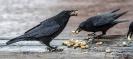 Die Krähen freuten sich über die mitgebrachten Erdnüsse