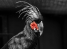 Dies ist ein Palmenkakadu der wegen seiner schwarzen Farbe auch Rabenkakadu genannt wird