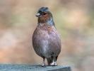 Dieser Buchfink