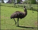 Etwas grösser wie der Emu, darum