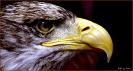 Falken sind einfach schöne Vögel