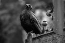 In den Vögeln von Hitchcock soll sie eine Nebenrolle gespielt haben aber ich halte dies für reinen Krähen-Angeberei