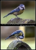 Junge Blaumeisen