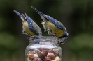 Junge Blaumeisen kommen meist im Schwarm
