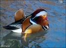 Mandarinente im großem Teich