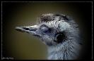 Noch einmal das Emu- Detail