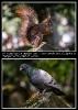 Taubenplage