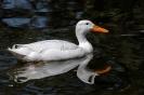 Weise Enten sieht man sonst eher selten