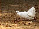 Weiße Tauben haben