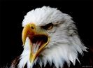 Weißkopfadler  aus Hellenthal